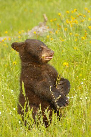 ursus americanus: Baby American black bear Ursus americanus playing in flowers Stock Photo