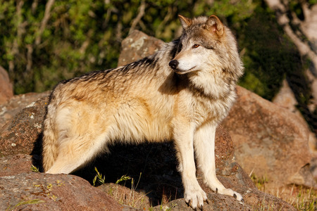 canis lupus: Gray wolf Canis lupus standing near rocks Stock Photo