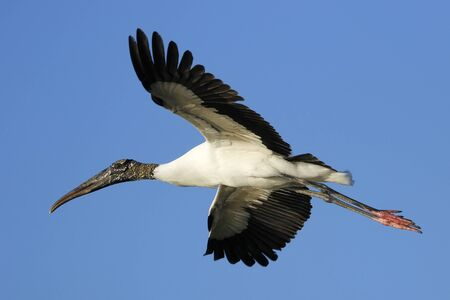 americana: Wood stork Mycteria americana flying in blue sky