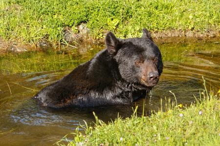 omnivore animal: Portrait of American black bear Ursus americanus swimming