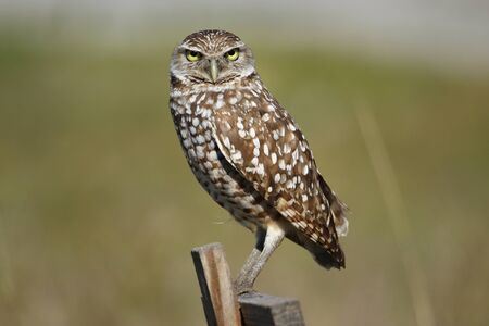 burrowing: Burrowing Owl Athene cunicularia sitting on a wooden pole