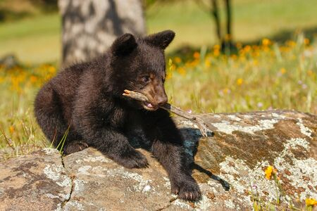 ursus americanus: Baby American black bear Ursus americanus playing with a stick