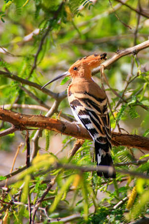 notable: Common Hoopoe Upupa epops sitting in a tree. It is notable for its distinctive crown of feathers.