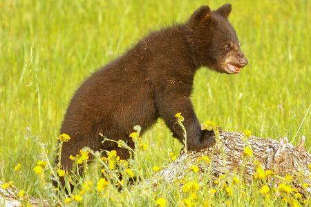ursus americanus: Baby American black bear Ursus americanus standing on a rock