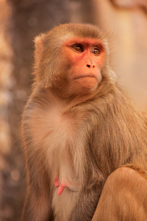 troop: Rhesus macaque Macaca mulatta sitting near Galta Temple in Jaipur, India. The temple is famous for large troop of monkeys who live here. Stock Photo