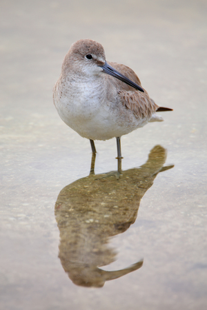 shallow water: Willet Tringa semipalmata standing in shallow water Stock Photo