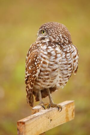 sitting on the ground: Burrowing Owl Athene cunicularia sitting on a pole