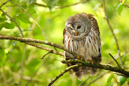 barred: Barred owl Strix varia sitting on a tree. Barred owl is best known as the hoot owl for its distinctive call