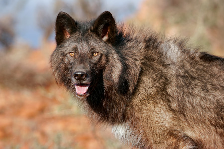 canis: Portrait of Gray wolf Canis lupus in a desert setting