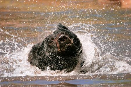 ursus americanus: American black bear Ursus americanus shakingin a river Stock Photo