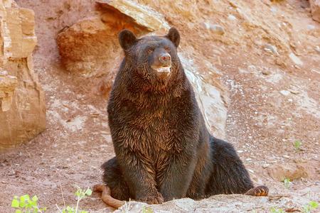 ursus americanus: American black bear Ursus americanus sitting near rock wall