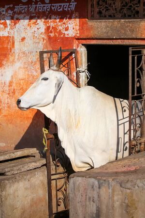 india cow: White cow standing in a doorway of the house, Jaipur, Rajasthan, India. Cows are considered sacred in Hinduism.