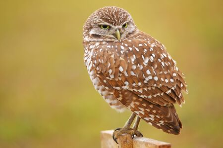 burrowing: Burrowing Owl Athene cunicularia sitting on a pole
