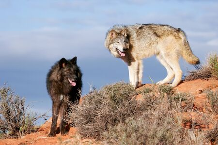 wolf couple: Gray wolves Canis lupus in a desert with red rock formations