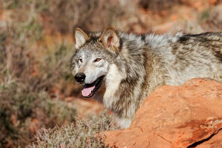 lupus: Portrait of Gray wolf Canis lupus in a desert Stock Photo