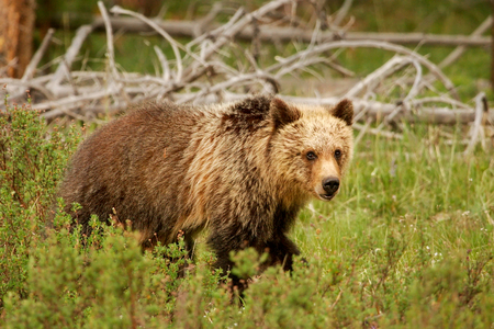 arctos: Young Grizzly bear Ursus arctos in Yellowstone National Park, Wyoming