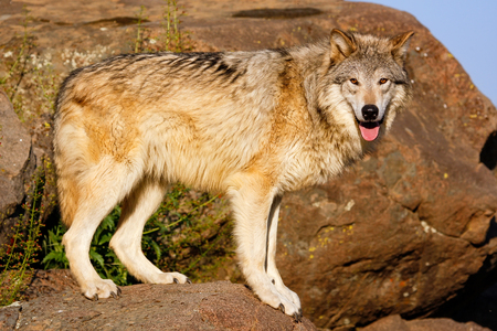 canis: Gray wolf Canis lupus standing on rocks