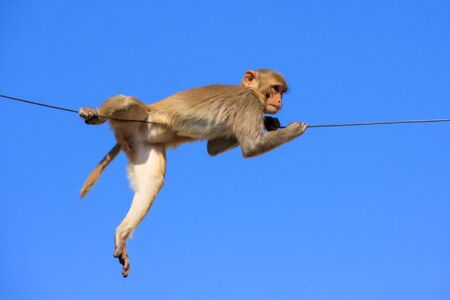 troop: Rhesus macaque Macaca mulatta playing on a wire near Galta Temple in Jaipur, India. The temple is famous for large troop of monkeys who live here. Stock Photo