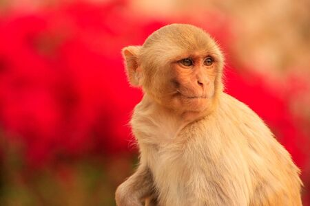 troop: Portrait of Rhesus macaque Macaca mulatta in Galta Temple in Jaipur, India. The temple is famous for large troop of monkeys who live here.