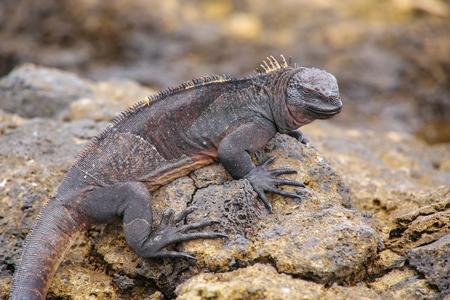 chinese hat: Marine Iguana Amblyrhynchus cristatus on Chinese Hat island, Galapagos National Park, Ecuador. This iguana found only on the Galapagos islands.