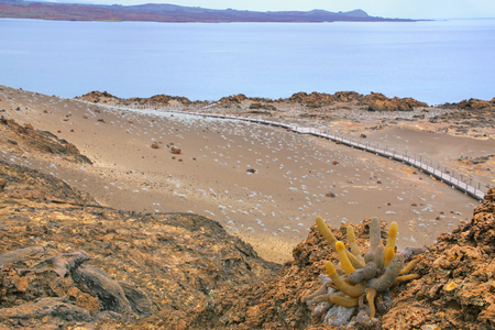 bartolome: Lava cactus growing on Bartolome island in Galapagos National Park, Ecuador. The plant is a colonizer of lava fields and is endemic to the Galapagos islands. Stock Photo