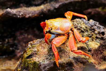 chinese hat: Sally lightfoot crab Grapsus grapsus feeding on Chinese Hat island, Galapagos National Park, Ecuador