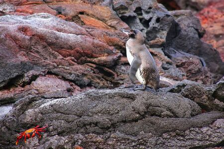 bartolome: Galapagos Penguin Spheniscus mendiculus standing on rocks, Bartolome island, Galapagos National Park, Ecuador. It is the only penguin that lives north of the equator in the wild.