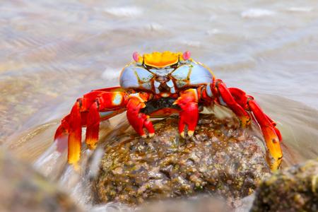 chinese hat: Sally lightfoot crab Grapsus grapsus on Chinese Hat island, Galapagos National Park, Ecuador Stock Photo