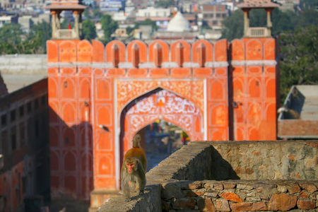 jaipur: Rhesus macaque Macaca mulatta walking on a wall near Suraj Pol in Jaipur, India. Jaipur is the capital and the largest city of Indian state of Rajasthan.