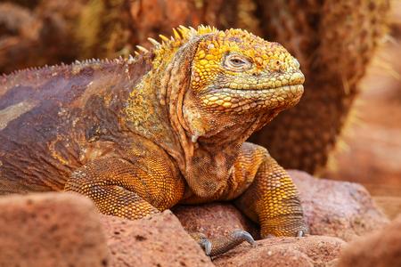 galapagos: Galapagos Land Iguana Conolophus subcristatus, on North Seymour island, Galapagos National Park, Ecuador Stock Photo
