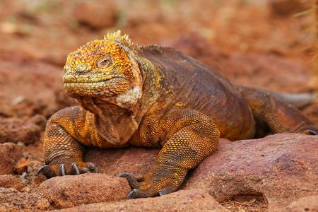 Galapagos Land Iguana Conolophus subcristatus, on North Seymour island, Galapagos National Park, Ecuador Banco de Imagens