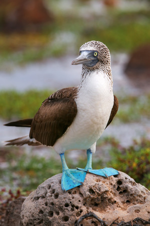 booby: Blue-footed Booby Sula nebouxii on North Seymour Island, Galapagos National Park, Ecuador