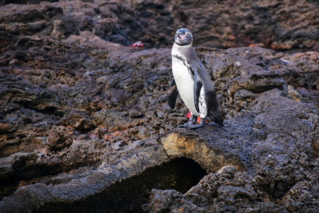 bartolome: Galapagos Penguin Spheniscus mendiculus standing on top of the lava tube on Bartolome island, Galapagos National Park, Ecuador. It is the only penguin that lives north of the equator in the wild.