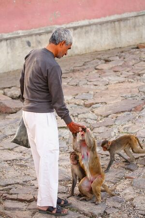 troop: Local man feeding macaques near Galta Temple in Jaipur, India. The temple is famous for large troop of monkeys who live here.