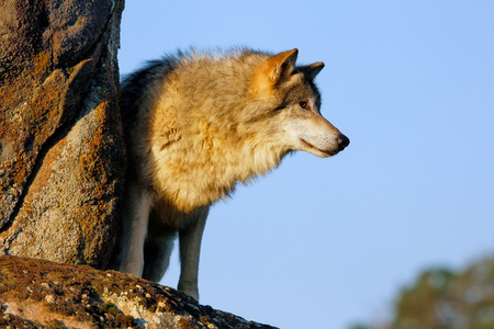 canis: Gray wolf (Canis lupus) standing on rocks
