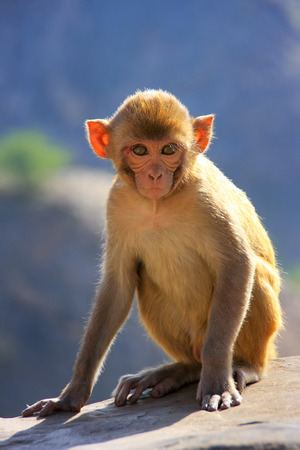 troop: Backlit Rhesus macaque (Macaca mulatta) sitting near Galta Temple in Jaipur, India. The temple is famous for large troop of monkeys who live here.