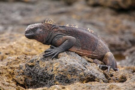 chinese hat: Marine Iguana (Amblyrhynchus cristatus) on Chinese Hat island, Galapagos National Park, Ecuador. This iguana found only on the Galapagos islands. Stock Photo