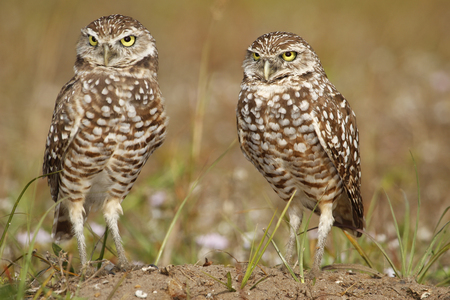 burrowing: Burrowing Owls (Athene cunicularia) standing on the ground Stock Photo