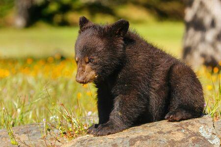 ursus americanus: Baby American black bear (Ursus americanus) sitting on rocks Stock Photo