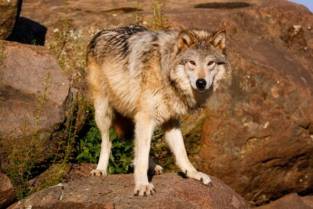 canis lupus: Gray wolf (Canis lupus) standing on rocks