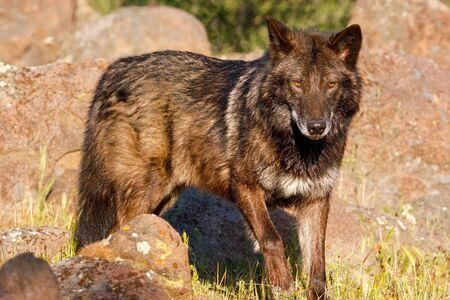 Gray wolf (Canis lupus) standing near rocks