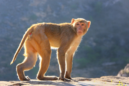 troop: Backlit Rhesus macaque (Macaca mulatta) walking near Galta Temple in Jaipur, India. The temple is famous for large troop of monkeys who live here.
