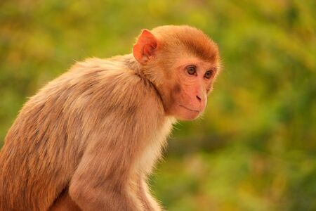 troop: Rhesus macaque (Macaca mulatta) sitting near Galta Temple in Jaipur, India. The temple is famous for large troop of monkeys who live here.