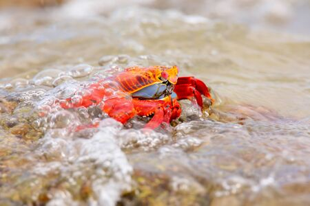 chinese hat: Sally lightfoot crab (Grapsus grapsus) covered by wave on Chinese Hat island, Galapagos National Park, Ecuador