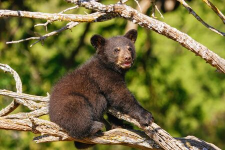 ursus americanus: Baby American black bear (Ursus americanus) sitting on a tree