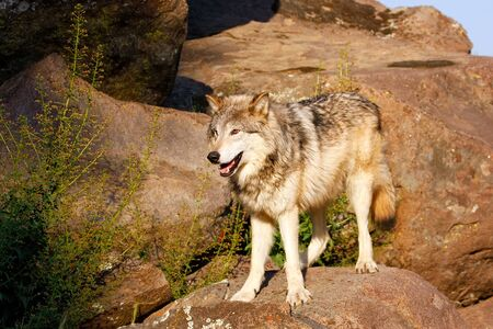 lupus: Gray wolf (Canis lupus) standing on rocks