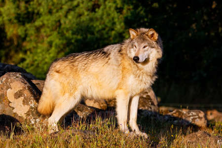canis: Gray wolf (Canis lupus) standing near rocks