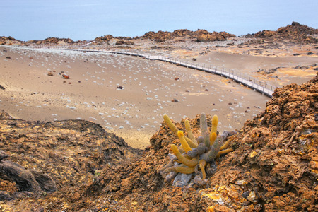 colonizer: Lava cactus growing on Bartolome island in Galapagos National Park, Ecuador. The plant is a colonizer of lava fields and is endemic to the Galapagos islands. Stock Photo