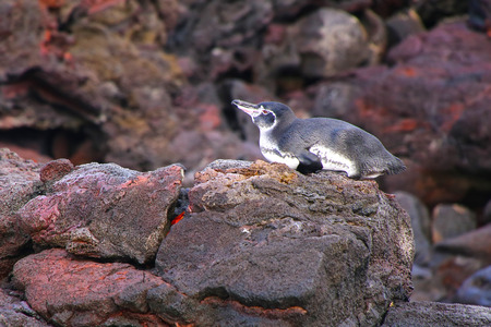 bartolome: Galapagos Penguin (Spheniscus mendiculus) lying on rocks at Bartolome island, Galapagos National Park, Ecuador. It is the only penguin that lives north of the equator in the wild.