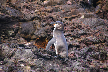bartolome: Galapagos Penguin (Spheniscus mendiculus) standing on rocks, Bartolome island, Galapagos National Park, Ecuador. It is the only penguin that lives north of the equator in the wild. Stock Photo